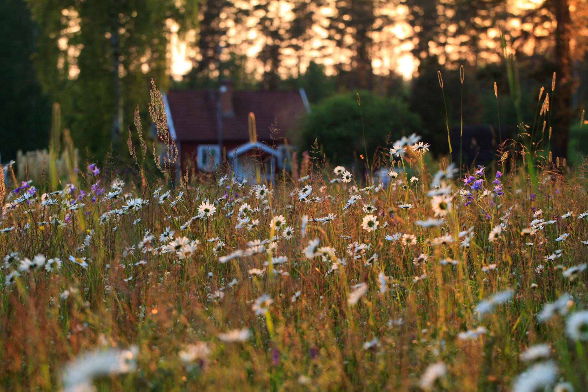 Rött hus i det småländska skogarna i solnedgång, en härlig sommaräng i förgrunden