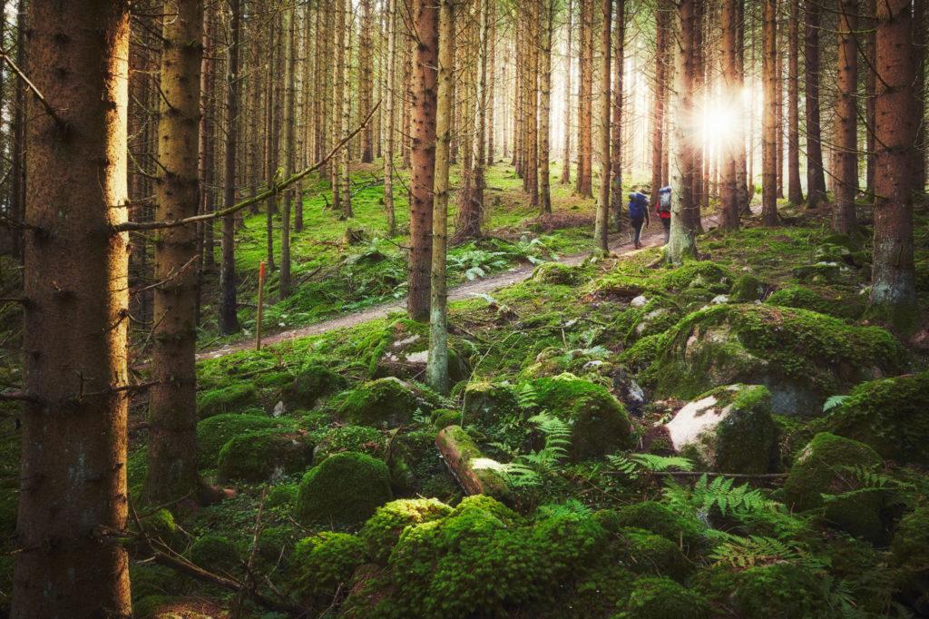Par går den trolska John Bauerleden i Småland, solen skiner mellan tallarna