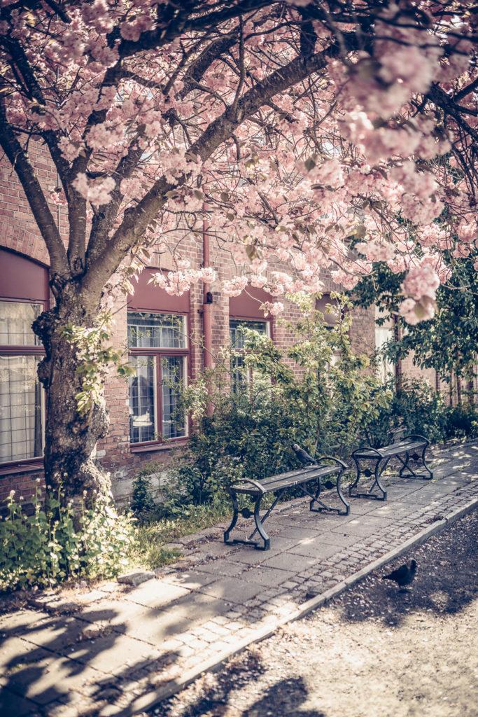 Körsbärsträd på Tändstickområdet i Jönköping i Småland