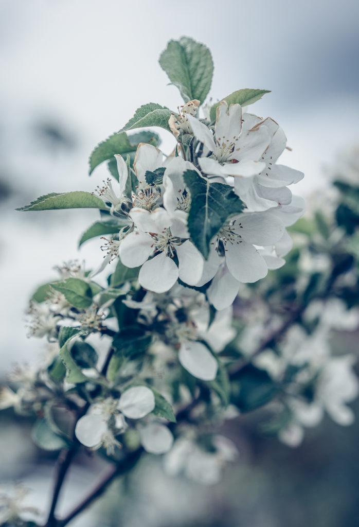 Blommande äppelträd i Äppledalen utanför Jönköping
