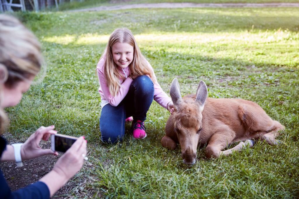 Flicka klappar älgkalv vid Skullaryds älgpark i Småland
