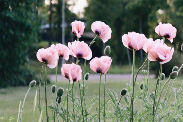 Bild på rosa blommor ute på en grön äng.